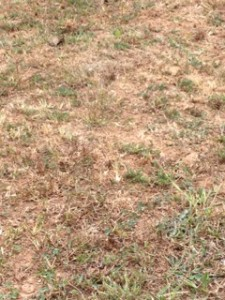 Even the weeds are dying in the pasture